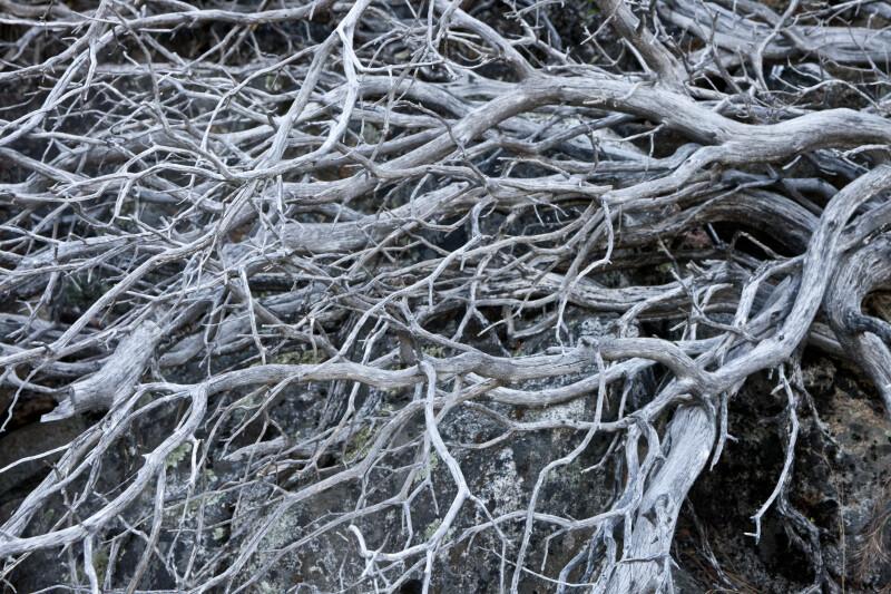 Dead Manzanita Branches