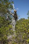 Dead Tree Being Overtaken by Shrubs