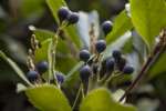 Deep-Purple Berries at the Rancho Los Alamitos Historic Ranch and Gardens