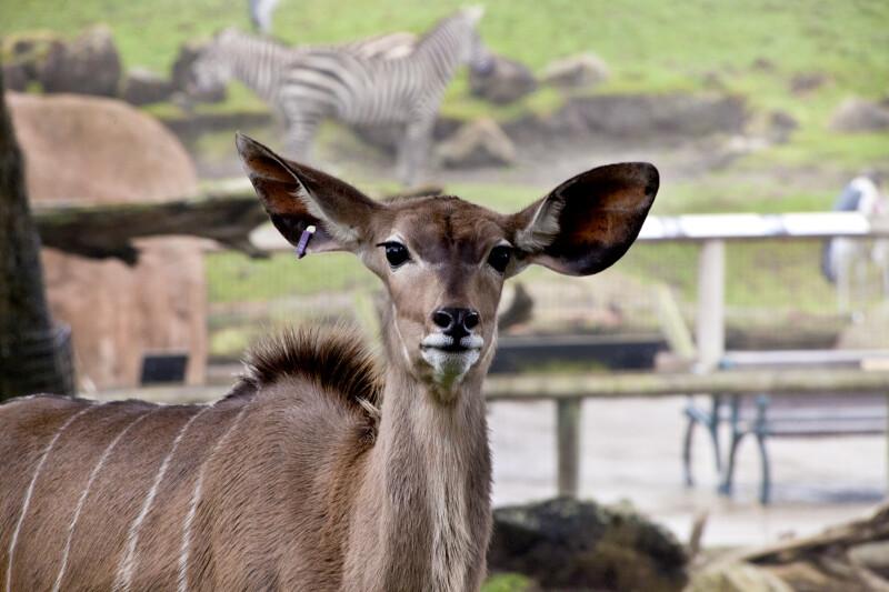 Deer Straight-On
