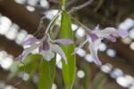 Dendrobium cassiope