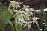 Dendrobium forbesii Flowers