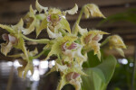 Dendrobium forbesii Orchid