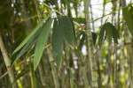 Dendrocalamus Minor var. Amoenus Leaves