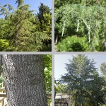Deodar Cedar Trees photographs