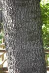 Deodar Cedar Trunk
