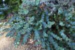 Derwentia perfoliata