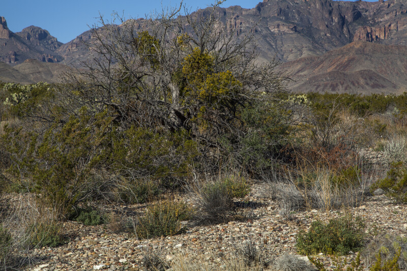 Desert Plants with a Mountain in the Background