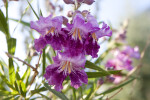 Desert Willow Flowers