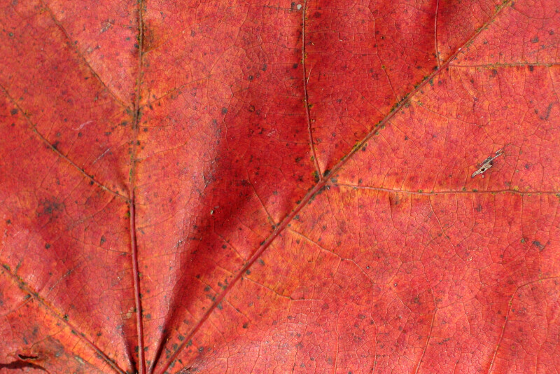 Detail of a Red Autumn Leaf