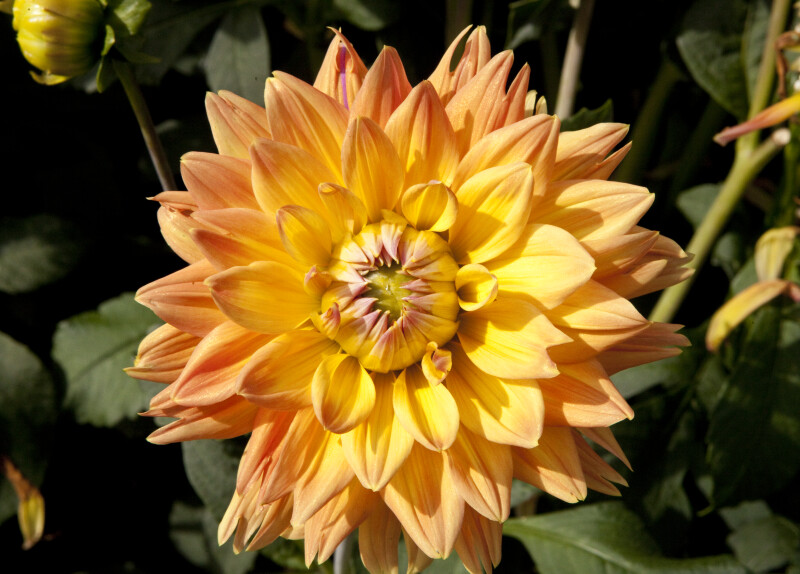 "Detail of ""Adlerstein"" Dahlia"