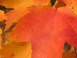 Detail of Orange Autumn Leaf