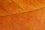 Detail of Orange Leaf