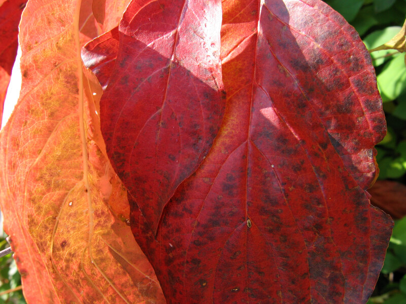 Detail of Red Autumn Leaf