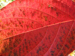 Detail of Red Leaf