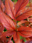Detail of Several Red Leaves