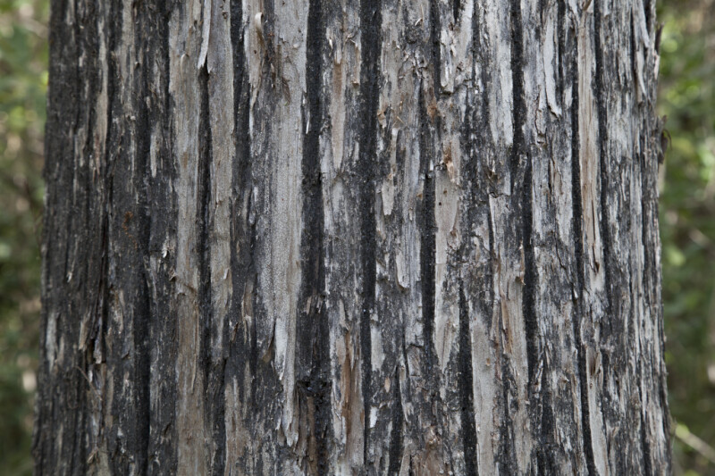 Detailed Bald Cypress Tree Trunk