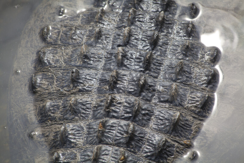 Detailed View of American Alligator's Back