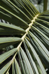 Detailed View of Palm Frond