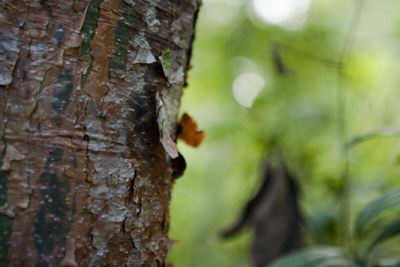 Detailed View of Peeling Bark of Gumbo-Limbo Tree