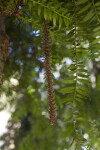 Developing Cone and Branch of a Bunya Pine