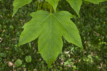 Devil Maple Leaf
