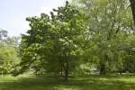 Devil Maple Tree