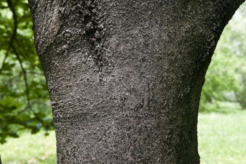 Devil Maple Trunk