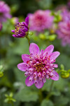 Diamond Rose Dahlia