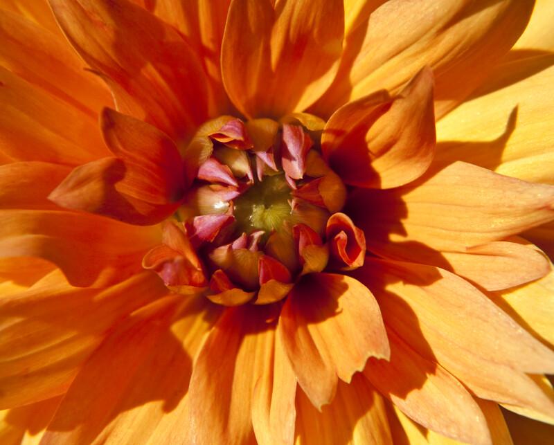 """""""Diana"""" Dahlia Detail"""