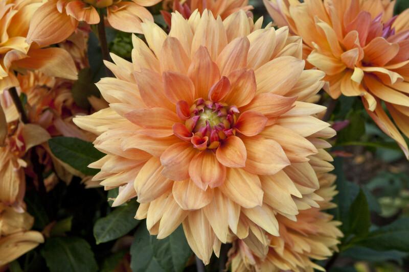 """""""Diana"""" Dahlia Flowers"""