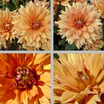 Diana Dahlias photographs