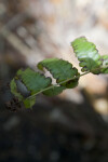 Diplazium japonicum Stem and Leaves