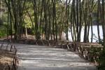 Dirt Path Running Through Bamboo Plants
