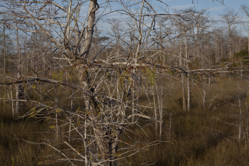Disordered Branches of Dwarf Bald Cypress Tree