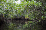 Distorted Reflections on Water of Mangroves