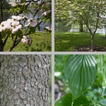 Dogwoods photographs