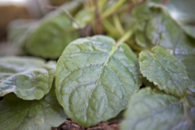 Doll Baby Leaf