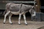 Domestic Donkey Chewing on Clump of Hay