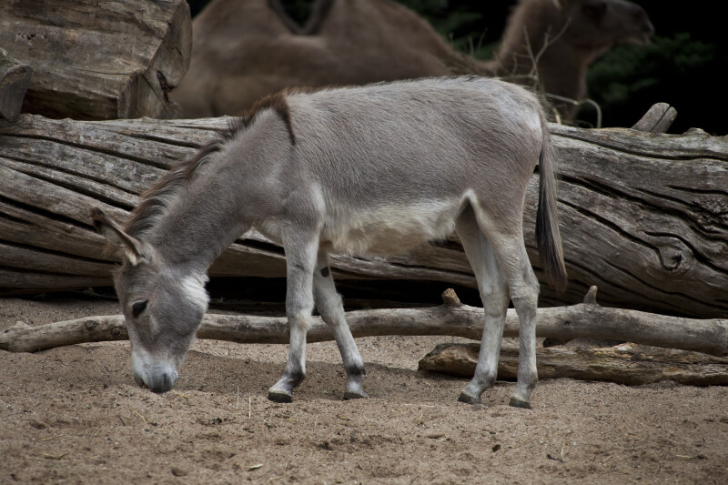 Domestic Donkey Sniffing the Ground