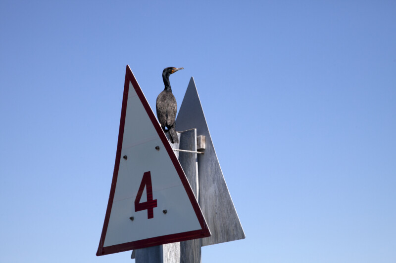 Double-Crested Cormorant Perched on a Sign