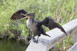 Double-Crested Cormorant Squawking with its Wings Spread