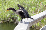 Double-Crested Cormorant Standing on a Ledge with its Wings Spread