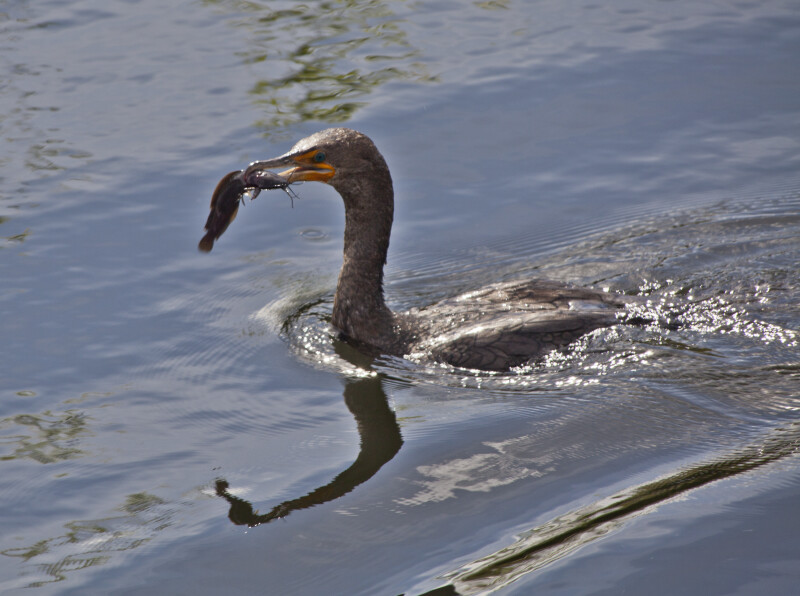 Double Crested Cormorant Swimming with Fish in its Beak