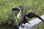 Double-Crested Cormorant with its Wings Fully Opened