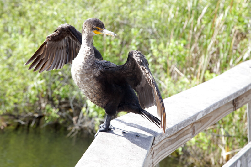 Double-Crested Cormorant with its Wings Spread and Head Turned