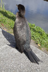 Double-Crested Cormorant's Back
