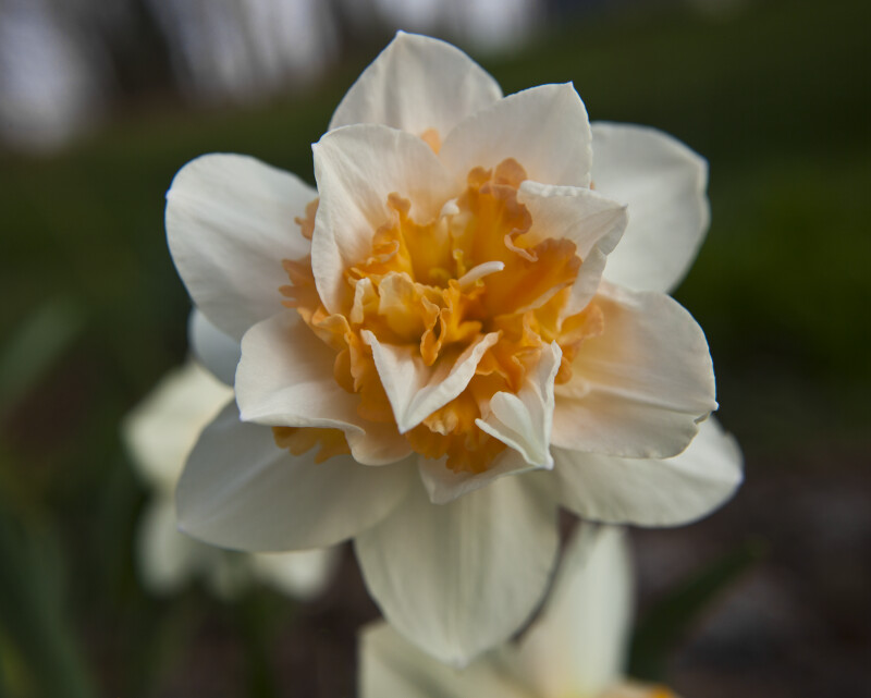 Double Daffodil Close-Up