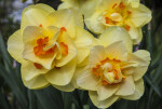 Double Daffodil with both Rounded and Pointed Petals