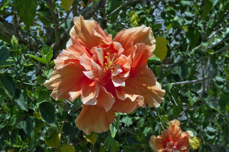 Double Hibiscus Flower